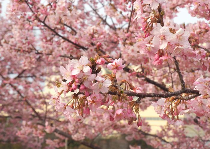 《いわき市桜情報2019》常磐共同火力(株)勿来発電所の河津桜が満開です♪ [平成31年3月18日(金)更新]13