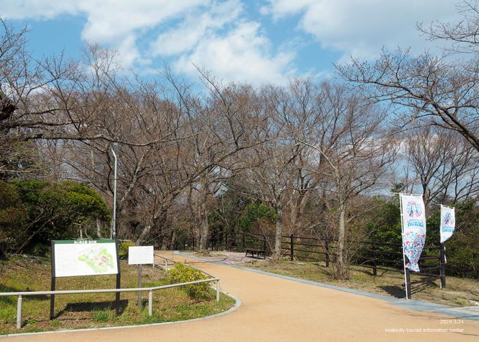 《いわき市桜情報2019》松ヶ岡公園のソメイヨシノ「蕾膨らむ」 [平成31年3月24日(日)更新]13