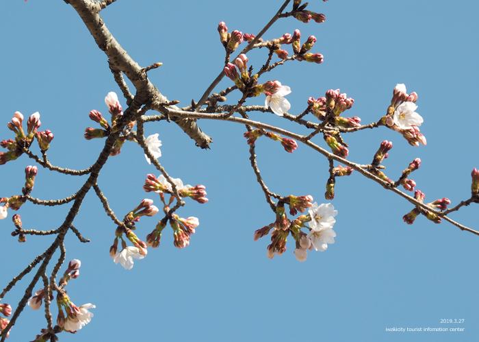 《いわき市桜情報2019》松ヶ岡公園のソメイヨシノが開花しました! [平成31年3月27日(水)更新]13