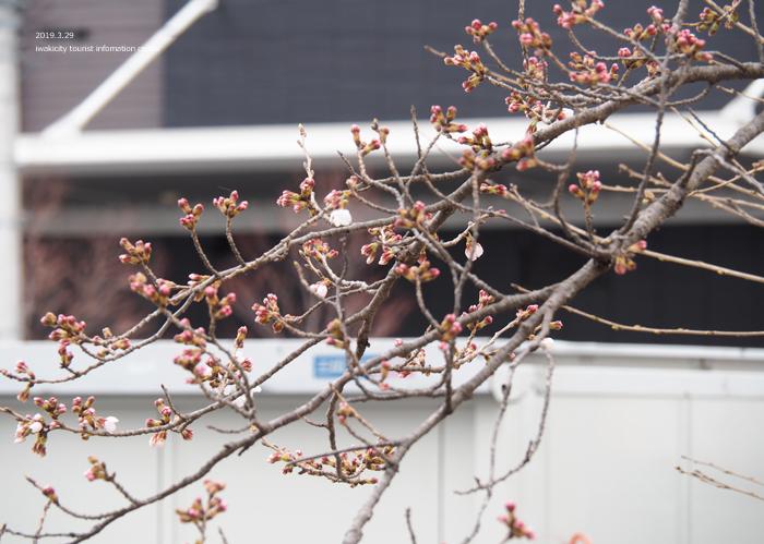 《いわき市桜情報2019》平中央公園&新川沿いのソメイヨシノが開花しました! [平成31年3月29日(金)更新]13