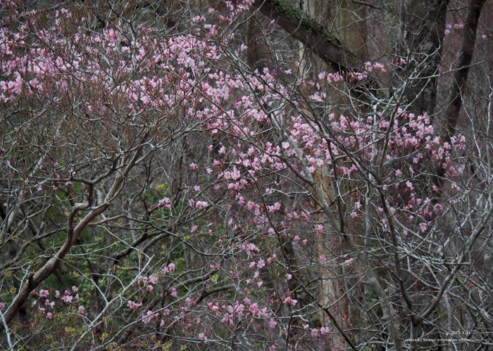 夏井川渓谷のアカヤシオが開花しました! [平成31年4月1日(月)更新]13