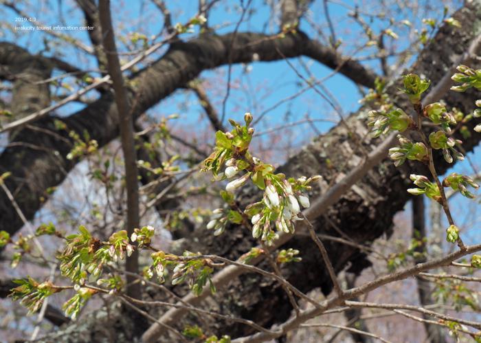《いわき市桜情報2019》松ヶ岡公園のソメイヨシノ(2分咲き) [平成31年4月3日(水)更新]13