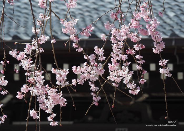 《いわき市桜情報2019》勝行院のシダレザクラが満開です! [平成31年4月7日(日)更新]13