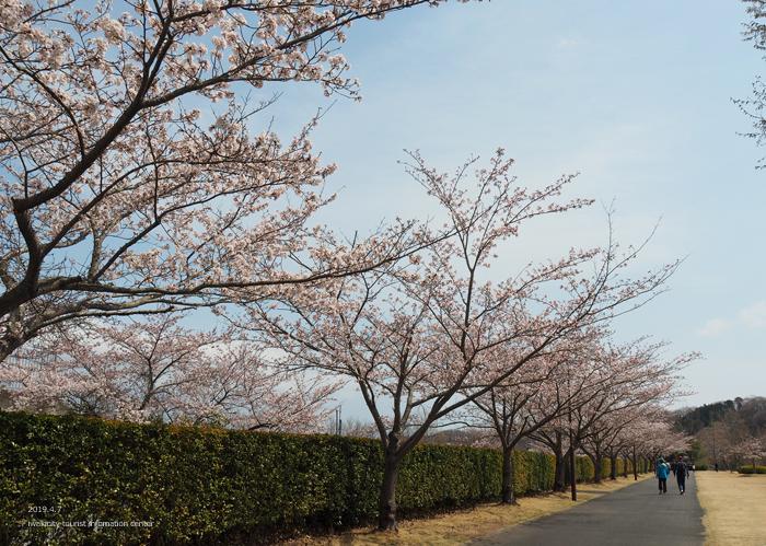 《いわき市桜情報2019》21世紀の森公園のソメイヨシノが見頃となりました! [平成31年4月7日(日)更新]13