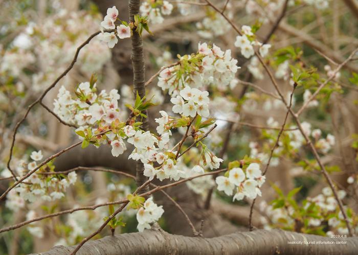 《いわき市桜情報2019》三崎公園でお花見を楽しましょう♪ [平成31年4月8日(日)更新]13
