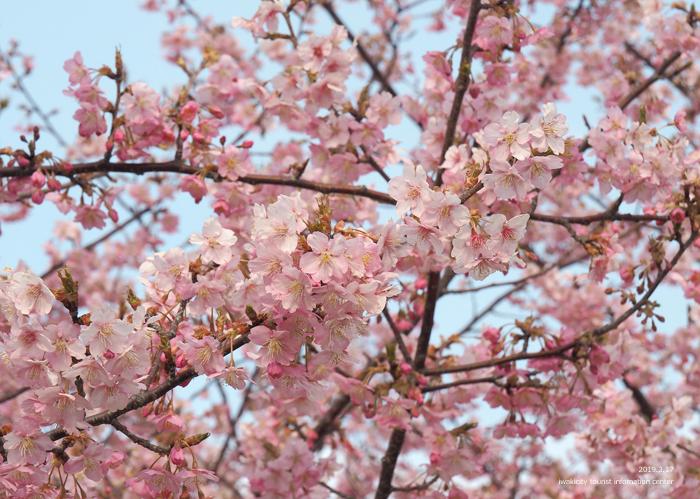 《いわき市桜情報2019》常磐共同火力(株)勿来発電所の河津桜が満開です♪ [平成31年3月18日(金)更新]14