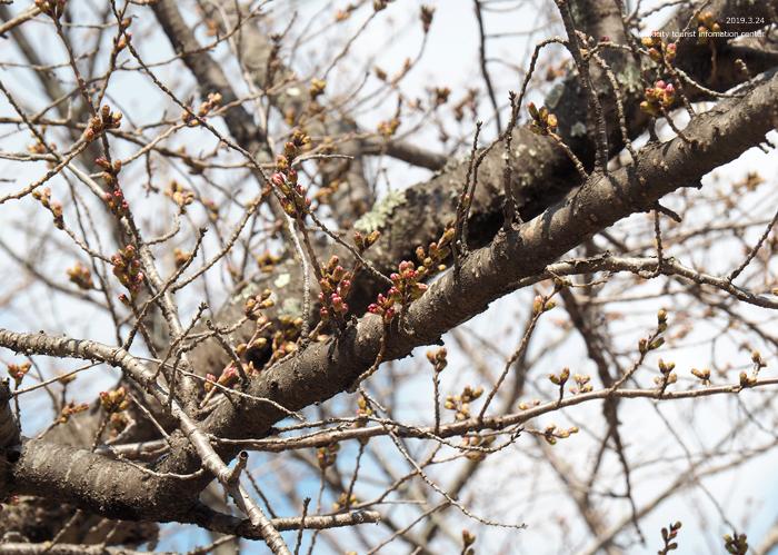 《いわき市桜情報2019》松ヶ岡公園のソメイヨシノ「蕾膨らむ」 [平成31年3月24日(日)更新]14
