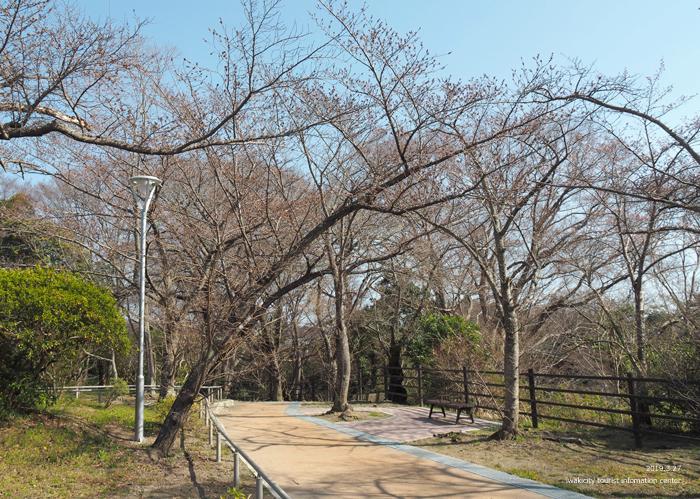 《いわき市桜情報2019》松ヶ岡公園のソメイヨシノが開花しました! [平成31年3月27日(水)更新]14