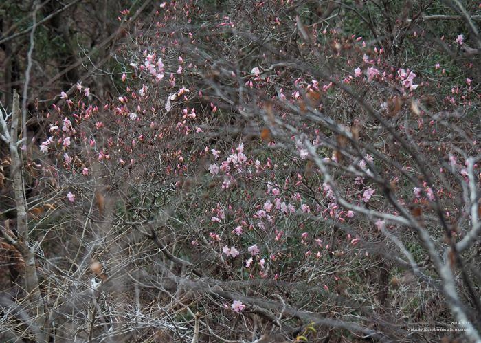 夏井川渓谷のアカヤシオが開花しました! [平成31年4月1日(月)更新]14