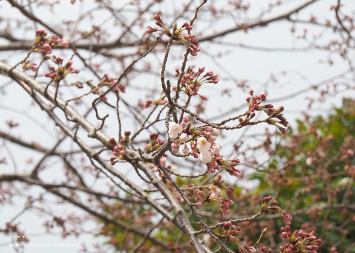 《いわき市桜情報2019》三崎公園のソメイヨシノ(咲き始め) [平成31年4月1日(月)更新]14