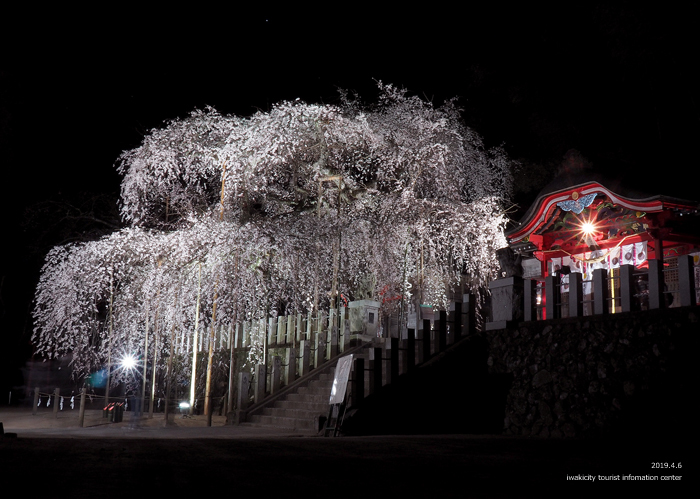《いわき市桜情報2019》夜桜見物に出かけませんか♪ 小川諏訪神社「しだれ桜ライトアップ」開催中です! [平成31年4月5日(金)更新]14