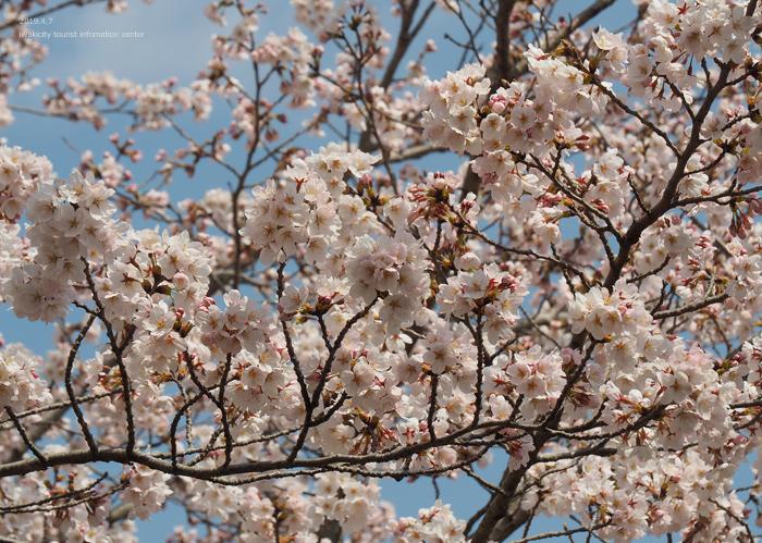 《いわき市桜情報2019》21世紀の森公園のソメイヨシノが見頃となりました! [平成31年4月7日(日)更新]14