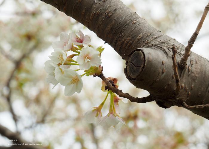 《いわき市桜情報2019》三崎公園でお花見を楽しましょう♪ [平成31年4月8日(日)更新]14