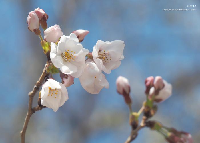 《いわき市桜情報2019》松ヶ岡公園のソメイヨシノ(2分咲き) [平成31年4月3日(水)更新]15