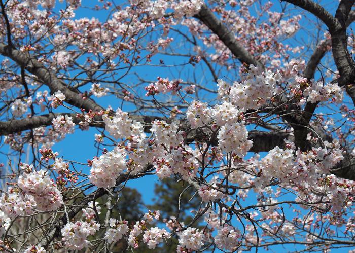《いわき市桜情報2019》勝行院のシダレザクラが満開です! [平成31年4月7日(日)更新]15