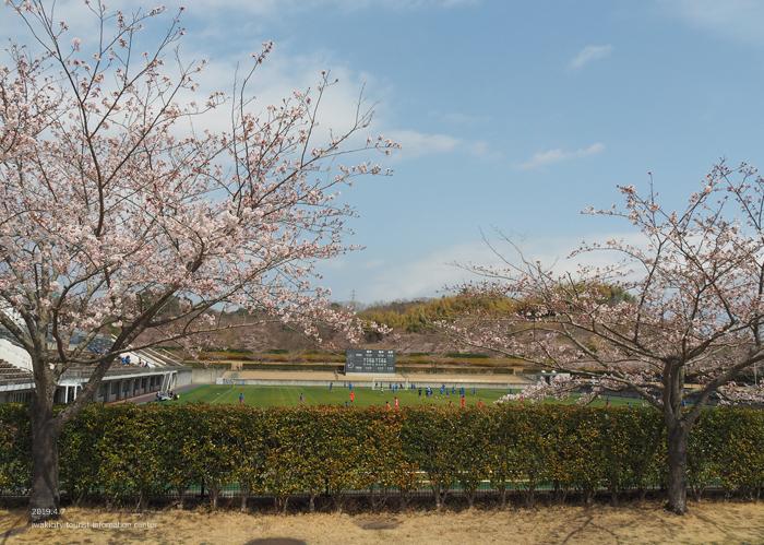 《いわき市桜情報2019》21世紀の森公園のソメイヨシノが見頃となりました! [平成31年4月7日(日)更新]15
