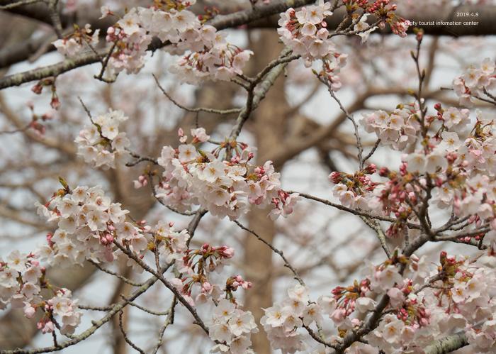 《いわき市桜情報2019》三崎公園でお花見を楽しましょう♪ [平成31年4月8日(日)更新]15
