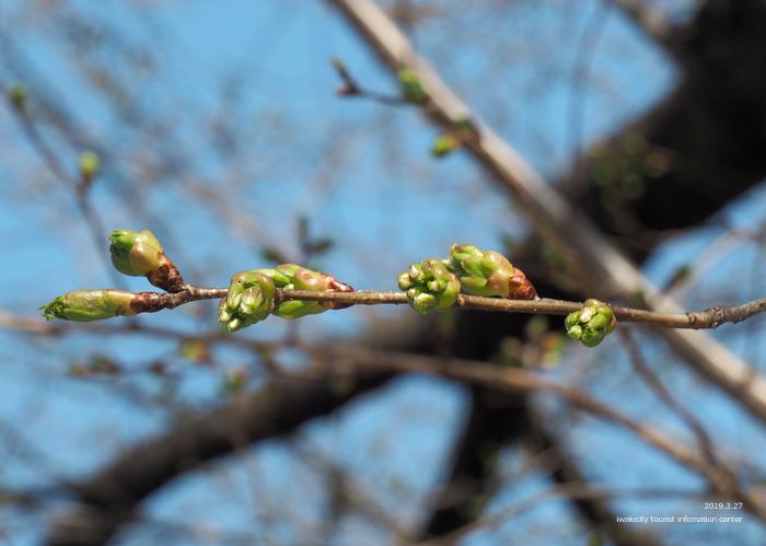 《いわき市桜情報2019》松ヶ岡公園のソメイヨシノが開花しました! [平成31年3月27日(水)更新]16