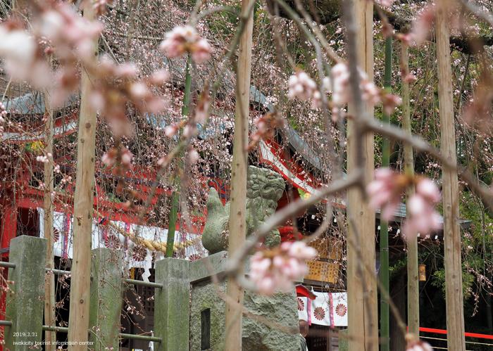 《いわき市桜情報2019》小川諏訪神社のシダレザクラ(5部咲き) [平成31年4月1日(月)更新]16