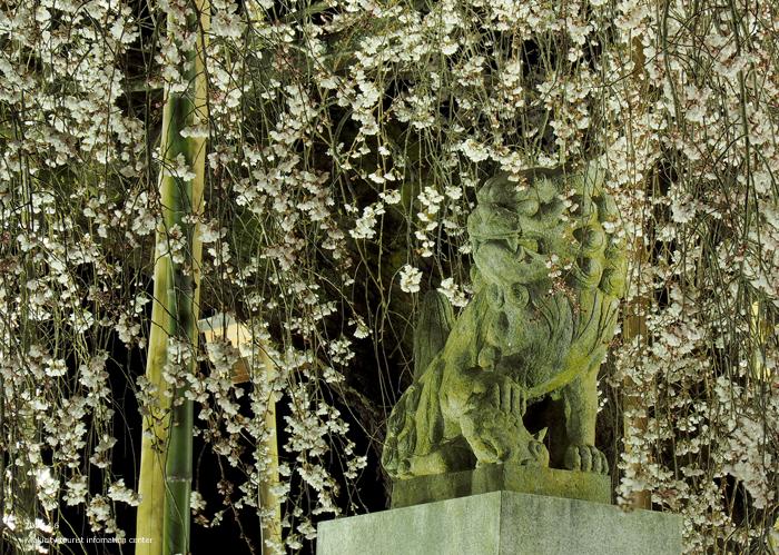 《いわき市桜情報2019》夜桜見物に出かけませんか♪ 小川諏訪神社「しだれ桜ライトアップ」開催中です! [平成31年4月5日(金)更新]16