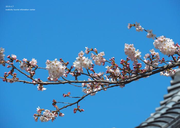 《いわき市桜情報2019》勝行院のシダレザクラが満開です! [平成31年4月7日(日)更新]16