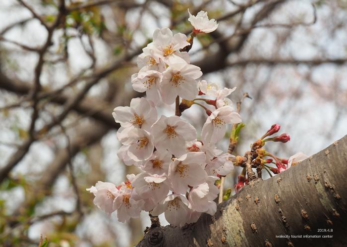 《いわき市桜情報2019》三崎公園でお花見を楽しましょう♪ [平成31年4月8日(日)更新]16