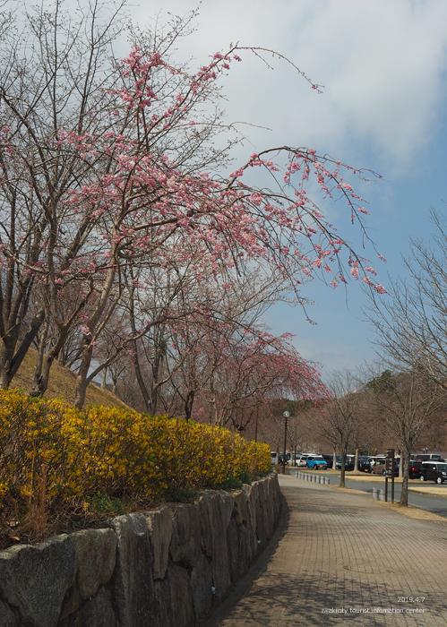 《いわき市桜情報2019》21世紀の森公園のソメイヨシノが見頃となりました! [平成31年4月7日(日)更新]17