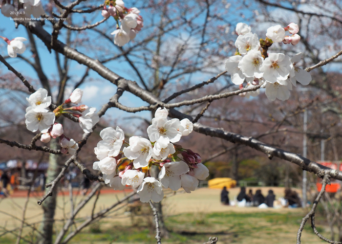 《いわき市桜情報2019》松ヶ岡公園のソメイヨシノ(2分咲き) [平成31年4月3日(水)更新]18