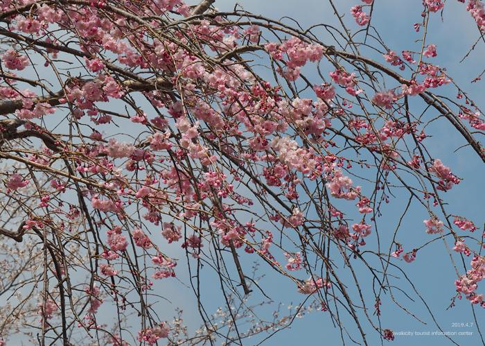《いわき市桜情報2019》21世紀の森公園のソメイヨシノが見頃となりました! [平成31年4月7日(日)更新]18