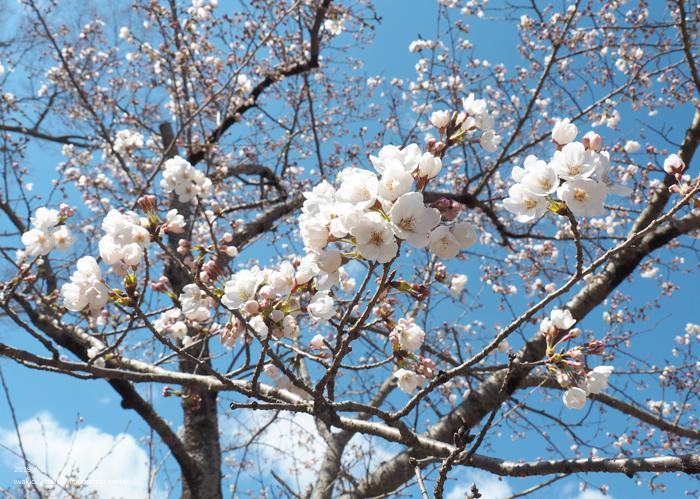 《いわき市桜情報2019》松ヶ岡公園のソメイヨシノ(2分咲き) [平成31年4月3日(水)更新]19