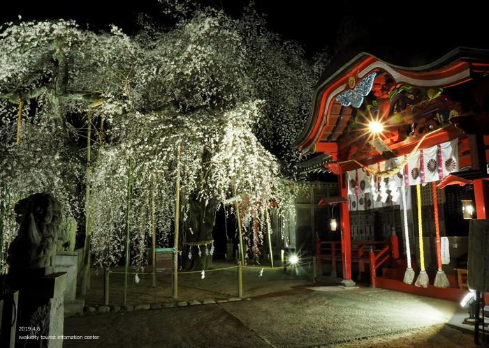 《いわき市桜情報2019》夜桜見物に出かけませんか♪ 小川諏訪神社「しだれ桜ライトアップ」開催中です! [平成31年4月5日(金)更新]19