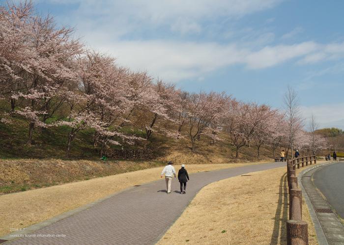 《いわき市桜情報2019》21世紀の森公園のソメイヨシノが見頃となりました! [平成31年4月7日(日)更新]19
