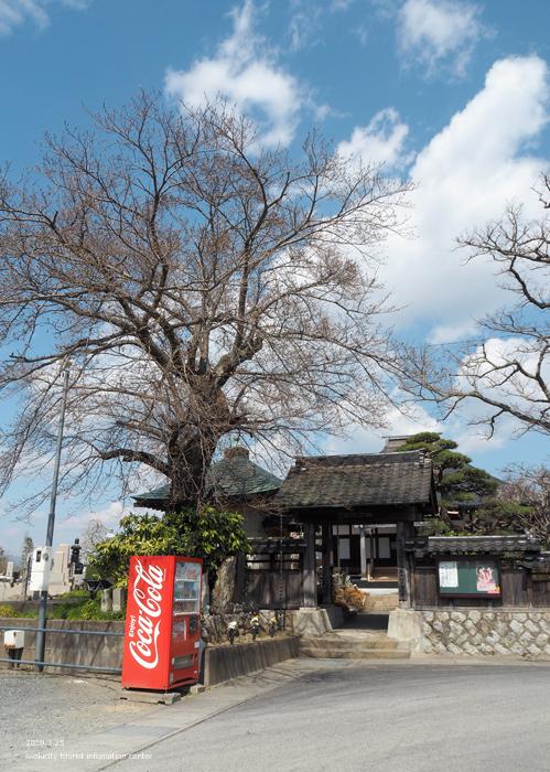 常勝院岩城寺の「八房の梅」が満開です! [平成31年3月25日(月)更新]2