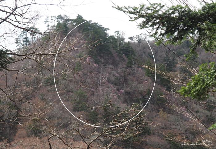 夏井川渓谷のアカヤシオが開花しました! [平成31年4月1日(月)更新]2