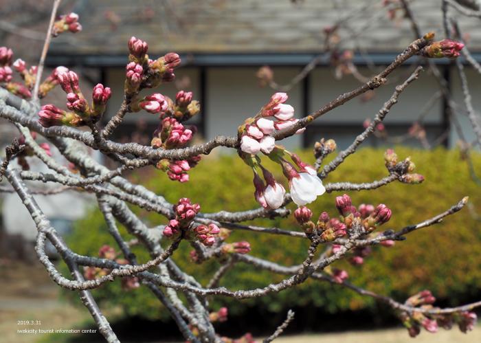 《いわき市桜情報2019》大畑公園のソメイヨシノ(開花) [平成31年4月1日(月)更新]2