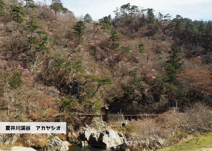 夏井川渓谷のアカヤシオ 春の陽射しを浴び見頃を迎えております! [平成31年4月6日(土)更新]2