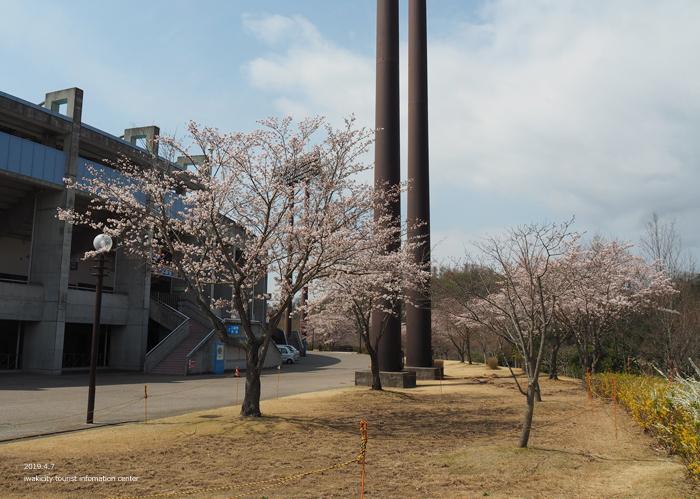 《いわき市桜情報2019》21世紀の森公園のソメイヨシノが見頃となりました! [平成31年4月7日(日)更新]2