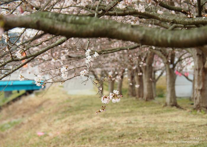 《いわき市桜情報2019》鹿島千本桜がほぼ満開となっています! [平成31年4月8日(日)更新]2