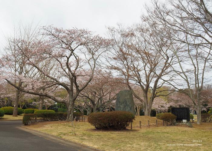 《いわき市桜情報2019》大畑公園のソメイヨシノが満開となりました! [平成31年4月8日(日)更新]2