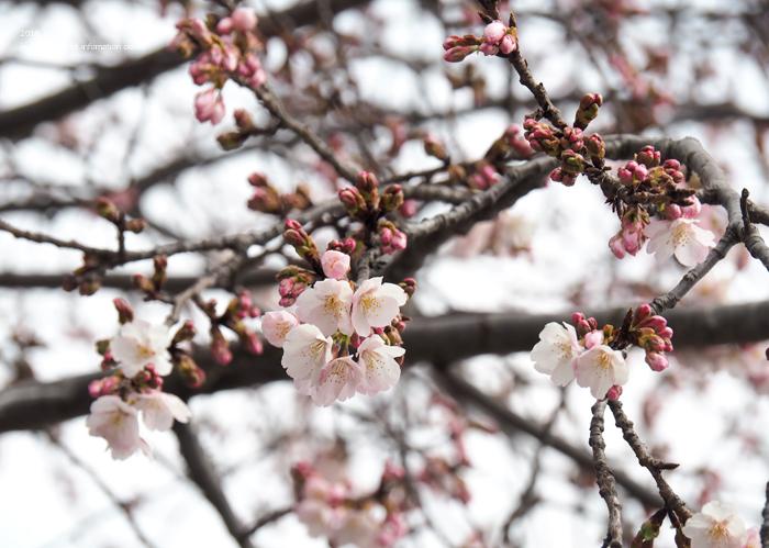 《いわき市桜情報2019》松ヶ岡公園のソメイヨシノ「つぼみ」 [平成31年3月16日(土)更新]20
