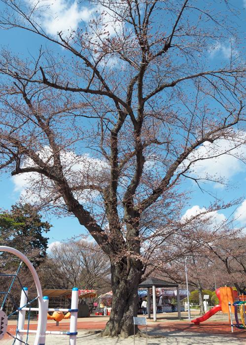 《いわき市桜情報2019》松ヶ岡公園のソメイヨシノ(2分咲き) [平成31年4月3日(水)更新]20