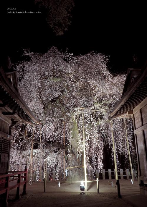 《いわき市桜情報2019》夜桜見物に出かけませんか♪ 小川諏訪神社「しだれ桜ライトアップ」開催中です! [平成31年4月5日(金)更新]20