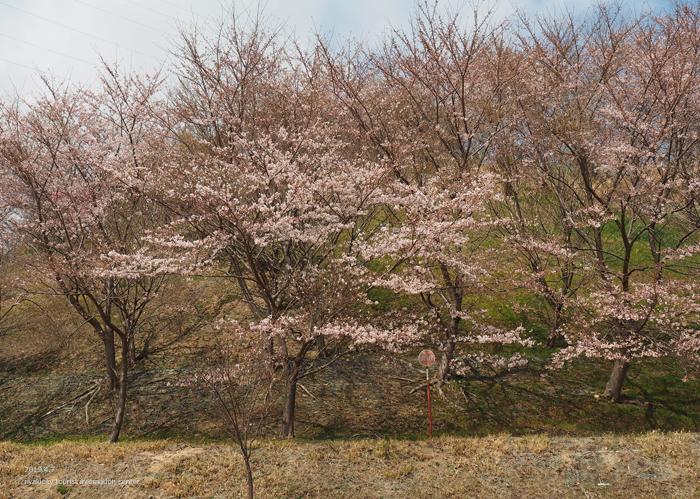 《いわき市桜情報2019》21世紀の森公園のソメイヨシノが見頃となりました! [平成31年4月7日(日)更新]20