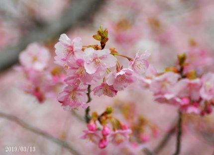 20190313高野花見山河津桜2