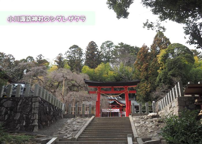《いわき市桜情報2019》小川諏訪神社のシダレザクラ 蕾が膨らみ始めています! [平成31年3月18日(金)更新]トップ