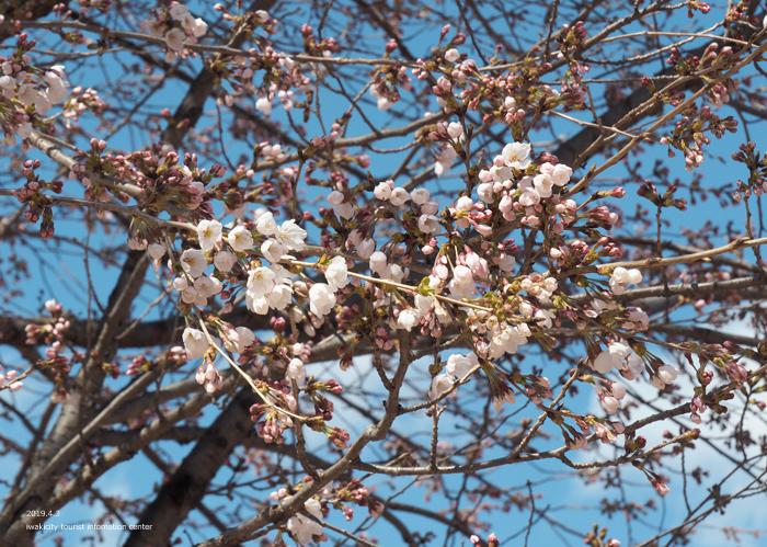 《いわき市桜情報2019》松ヶ岡公園のソメイヨシノ(2分咲き) [平成31年4月3日(水)更新]21