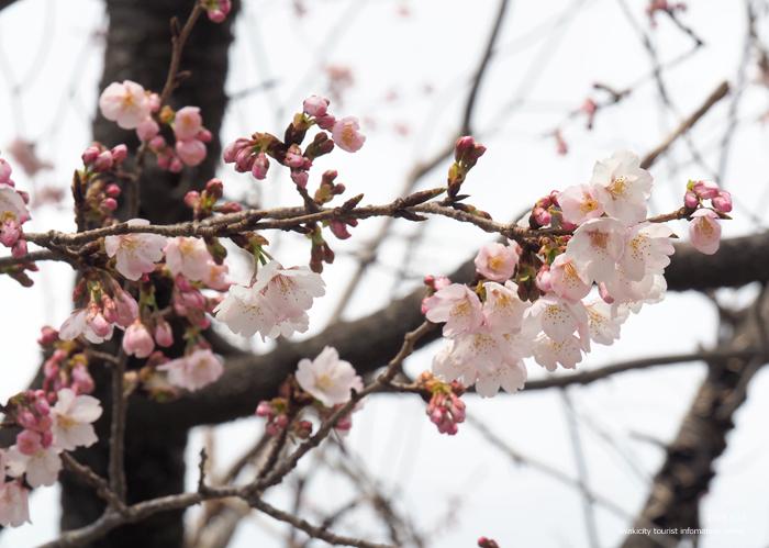 《いわき市桜情報2019》松ヶ岡公園のソメイヨシノ「つぼみ」 [平成31年3月16日(土)更新]22