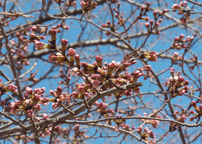 《いわき市桜情報2019》松ヶ岡公園のソメイヨシノ(2分咲き) [平成31年4月3日(水)更新]23