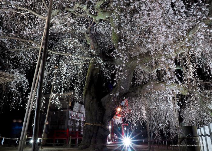 《いわき市桜情報2019》夜桜見物に出かけませんか♪ 小川諏訪神社「しだれ桜ライトアップ」開催中です! [平成31年4月5日(金)更新]25
