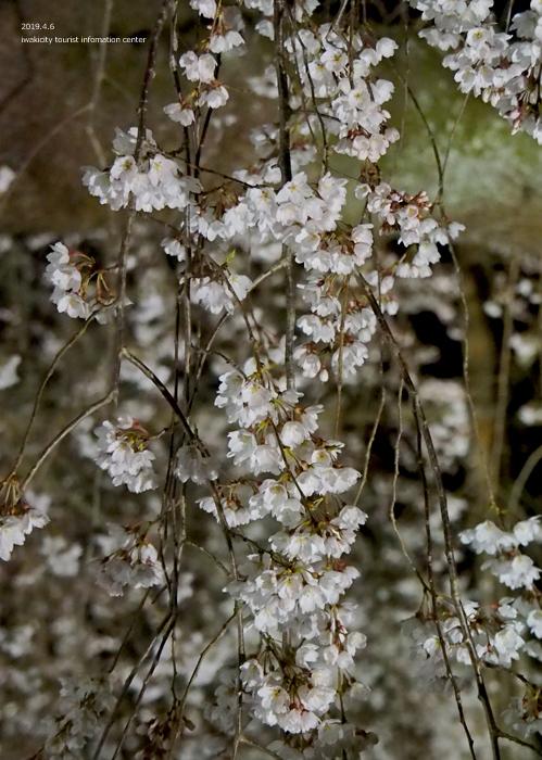 《いわき市桜情報2019》夜桜見物に出かけませんか♪ 小川諏訪神社「しだれ桜ライトアップ」開催中です! [平成31年4月5日(金)更新]28